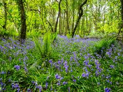 Bluebells (Feldore) Tags: strangford bluebells wood forest northern ireland flowers colourful down trees blue vibrant feldore mchugh em1 olympus 1240mm