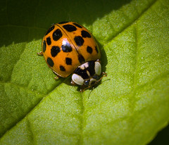 Harlequin ladybeetle (hedera.baltica) Tags: ladybird ladybug harlequinladybeetle asianladybeetle biedronka biedronkaazjatycka harmoniaaxyridis