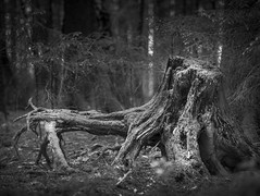 as time goes by (memories-in-motion) Tags: forest time mood light shadow roots old dark gfx50r gf110mmf2rlmwr black white mono blackandwhite nature process