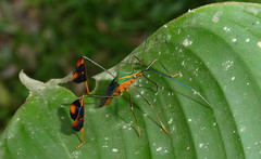 Racket-booted leaf-footed bug (Coreidae, Diactor bilineatus) P1010877 (Andrew Neild, UK) Tags: racketbooted leaffooted bug coreidae colombia sunstreak