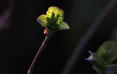 Vita (lincerosso) Tags: luce light gemme hydrangea giardino primavera spring bellezza armonia vita