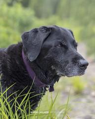 labrador (Karine Laplante - Photographe) Tags: chien labrador canin animaux nature compagnon