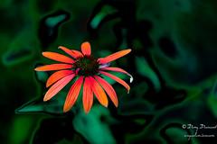 Lévitation - (croqlum) Tags: bokeh proxiphotographie fleur macrophotographie rudbékia nature artbokeh fineart graphics macrophotography flower macro croqart
