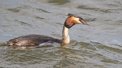 Great Crested Grebe (Danny Gibson) Tags: greatcrestedgrebe great grebe grebes waterfowl bird birds birdwatching birding birdphotography wildlife wildlifephotography wildbirds nature naturephotography naturalworld dgpixorguk