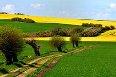 Willow track (chalkf0x) Tags: rapsfält raps willowtrees pilträd skåne sweden sverige landsväg lane track yellow green fields