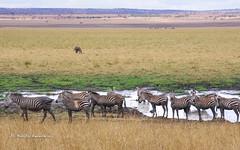 IMGP0684 (b kwankin) Tags: africa landscape tanzania tarangire zebra