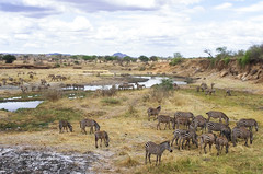 IMGP0654 (b kwankin) Tags: africa landscape tanzania tarangire zebra