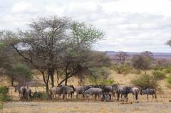 IMGP0549 (b kwankin) Tags: africa landscape tanzania tarangire wildebeesteasternwhitebearded