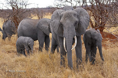 IMGP0527 (b kwankin) Tags: africa elephant landscape tanzania tarangire
