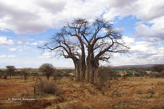 IMGP0496 (b kwankin) Tags: africa baobab landscape tanzania tarangire