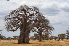 IMGP0343 (b kwankin) Tags: africa baobab landscape tanzania tarangire