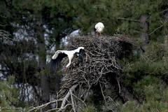 Pascal Bonnet-Cigogne (shynyphotographe) Tags: cigogne oiseaux nidification cigogneau échassier birds nids forêt wildlife espace nature faune