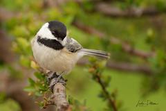 black-capped chickadee (lindapp57) Tags: blackcappedchickadee bird