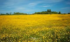 Campo amarelo (Lylise) Tags: margaridas daisies amarelo yellow jaune printemps primavera spring
