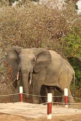 Savanna elephant, Mole Motel, Mole National Park, Ghana (inyathi) Tags: africa westafrica ghana africananimals africanwildlife africanelephants elephants savannaelephants loxodontaafricana safari molemotel molenationalpark