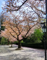 cherry blossoms (ekelly80) Tags: germany munich april2019 spring blossoms flowers cherryblossoms light sun sunny glow tree pink