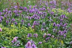 Stachys macrantha Lago-Naki July 2018 (Aidehua2013) Tags: stachys macrantha lamiaceae lamiales bigbetony lagonaki adygea maikopdistrict russia caucasus plant flower