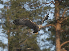A9_06905 (msmedsru) Tags: white tailed eagle finland spring flight martinselkonen