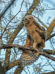 Great Horned Owlet streching. (43) (Estrada77) Tags: greathornedowl owlet owl raptors birdsofprey distinguishedraptors wildlife spring2019 kanecounty illinois birds birding outdoors perched nikon nikond500200500mm nature animals may2019
