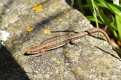 Common Lizard (Zootoca vivipara) (Sky and Yak) Tags: zootoca vivipara zootocavivipara commonlizard common lizard viviparous lacerta uk uklizards reptile reptilesandamphibians herpetology herp cornwall falmouth nature naturalworld