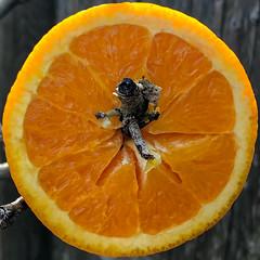 Oriole Enticement (Timothy Valentine) Tags: home birdfeeder fruit orange squaredcircle eastbridgewater massachusetts unitedstatesofamerica
