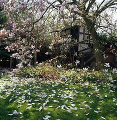 Magnolia Tree in Garden (tessar_man) Tags: gardens superikonta tessar trees zeissikon ektar100