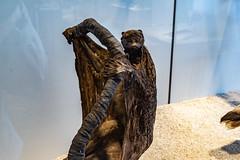 19-Galéopithèque de Temminck (Alain COSTE) Tags: jardinpublic bordeaux gironde france museum 2019 nikon
