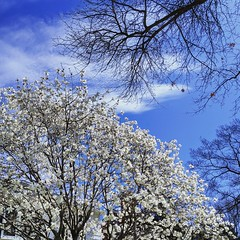 spring in Michigan (ekelly80) Tags: michigan home easter april2019 spring grossepointe flowers white tree sky blue springtime