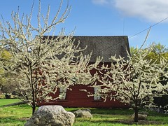 spring in New England (ekelly80) Tags: massachusetts marlborough april2019 spring newengland appleblossoms blossoms flowers white light sun barn red