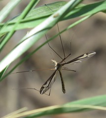 Crane fly (Bug Eric) Tags: animals wildlife nature outdoors insects bugs flies craneflies tipulidae diptera fountaincreekregionalpark fountain colorado male tipulafurca northamerica april282019