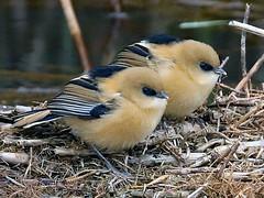 Bearded Tit fledglings (fasteeley) Tags: beardedtit titchwell fledgling
