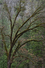 Oak, Yosemite (baro-nite) Tags: yosemitenationalpark oak trees moss pentax k1 mirex tiltshift smcpentaxa645135150mm iridientdeveloper