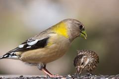 Spring Birds - 2019 (TofteTom) Tags: minnesota birding birds audubon spring northshore cookcounty upnorth superiornationalforest