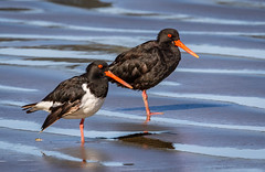 Variable and South Island Pied Oystercatcher (Hickenbothom) Tags: variable oystercatcher haematopus unicolor torea pango new zealand endemic wader bird shorebird tuawhenua south island pied finschi