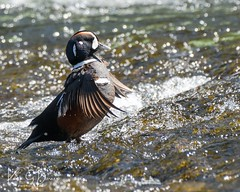 Harlequin Duck drying off (barneskent) Tags: yellowstone river drake harlequinduck