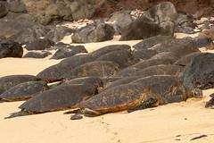 Basking Green Sea Turtles (Chelonia mydas) (dmills727) Tags: hawaii hookipabeachpark maui herp reptile turtle