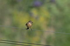 Stonechat (finor) Tags: sony alpha a6500 ilce6500 nature wildlife bird stonechat schwarzkehlchen