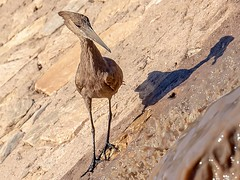 Hamerkop (Ted Smith 574) Tags: hamerkop