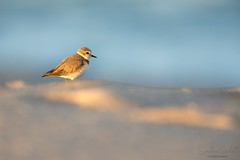 Songe (stephanegachet) Tags: fr france sea seabird morbihan bretagne breizh bzh ploemeur mer oiseau bird nature animal wildlife stephanegachet gachet
