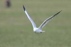 On a wing 2 (Thunder1203) Tags: nature flight wing feathers scavenger seabirds birds seagulls