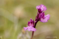 Orquídea mariposa (Jose A. Casal) Tags: orquídeamariposaanacamptispapilionacea antesorchispapilionacea