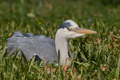 Herbert relaxing. Never seen a heron sit this way. They usually just stand. (Frederik0711) Tags: