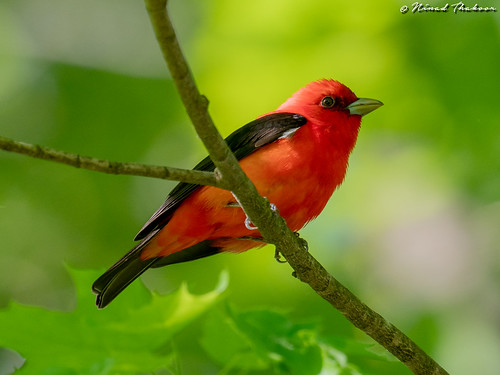 "Scarlet Tanager • <a style=""font-size:0.8em;"" href=""http://www.flickr.com/photos/59465790@N04/32887998227/"" target=""_blank"">View on Flickr</a>"