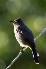 Cape Bulbul (Si@Fi) Tags: südafrika kirstenbosch bird birding bulbul kapstadt