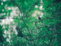 Forest & Bird Bokeh - 11. Mai 2019 - Schleswig-Holstein - Germany (torstenbehrens) Tags: bird bokeh 11 mai 2019 schleswigholstein germany olympus penf 7xef50149mm f28 forest