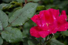 Raindrops keep falling (Tim Brown's Pictures) Tags: washingtondc neighborhoods flowers blossoms blooms color roses garden redrosebush red green raindrops washington dc unitedstates
