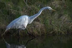Grande aigrette/Great Egret-_PM24316 (michel paquin2011) Tags: rouge grande aigrette échassier parc angrignon montréal