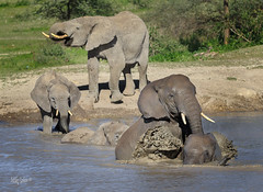 Line up for Fun! (MyKeyC) Tags: africa michaeljcohen tanzania todd elephant elephants flickrcomphotosmykeyc instagramcommykeycohen mmykeyyahoocom mykey4photogmailcom wwwfacebookcommikecohen182