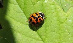 9696 Harmonia axyridis (jon. moore) Tags: prioryfields warwickshire coleoptera harmoniaaxyridis harlequinladybird coccinellidae