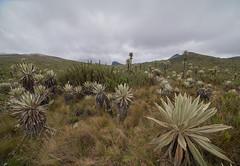 DSC04718Páramo (Escipió) Tags: chingaza paramo colombia paisaje nubes frailejones andes trekking